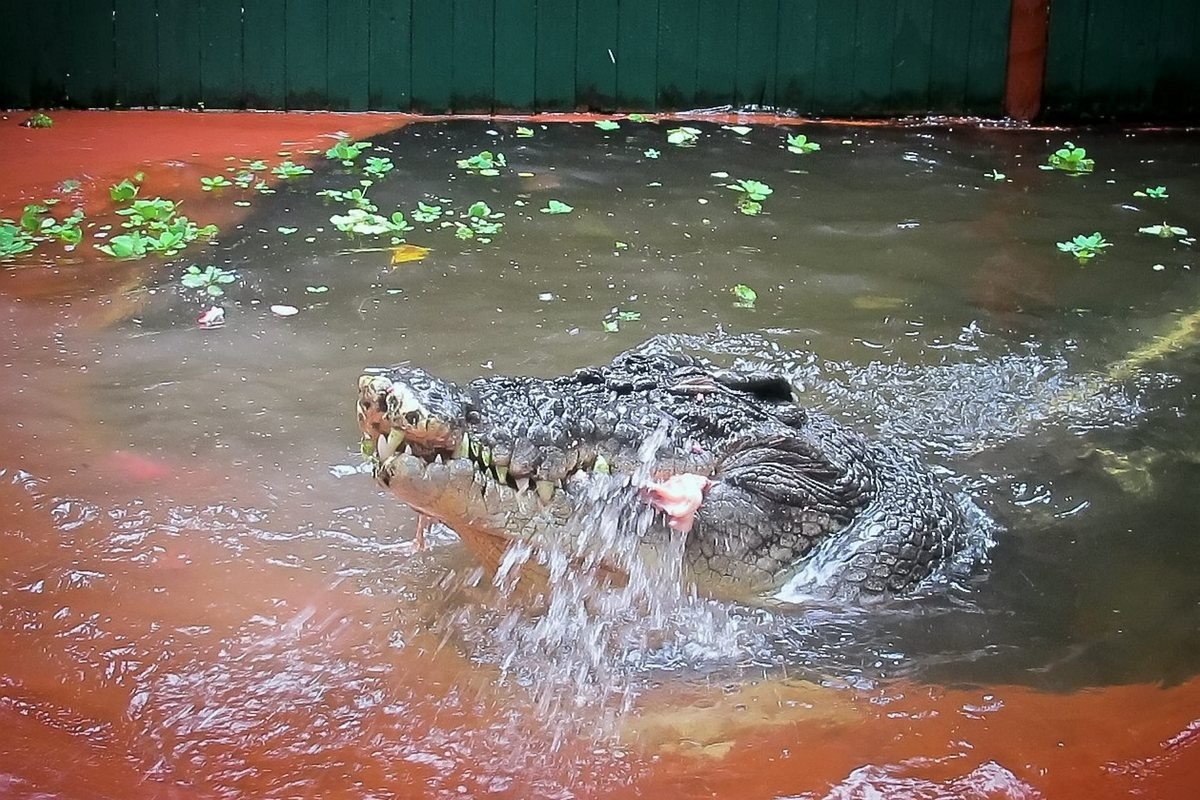 Cassius the 110 year old crocodile celebrates his birthday with a special meat cake. See SWNS story SWCROC: The largest crocodile in captivity has celebrated turning 110 by being given a special birthday cake made out of MEAT. Cassius the saltwater croc i